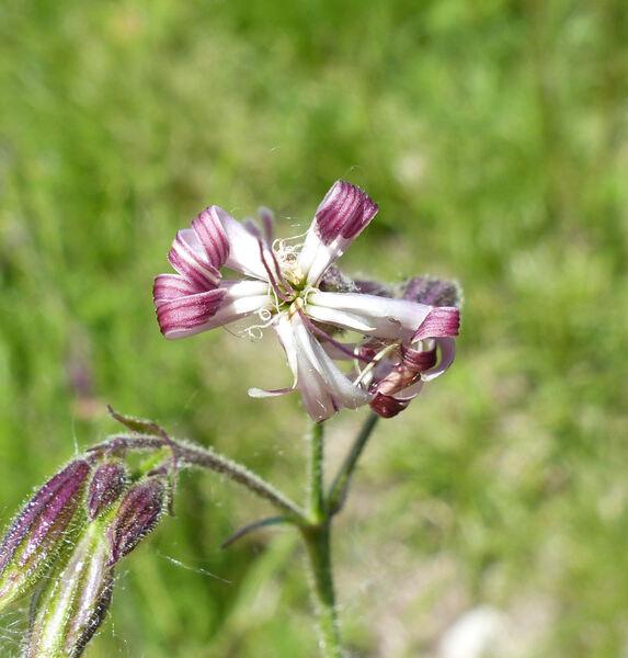 Silene nutans L. subsp. nutans