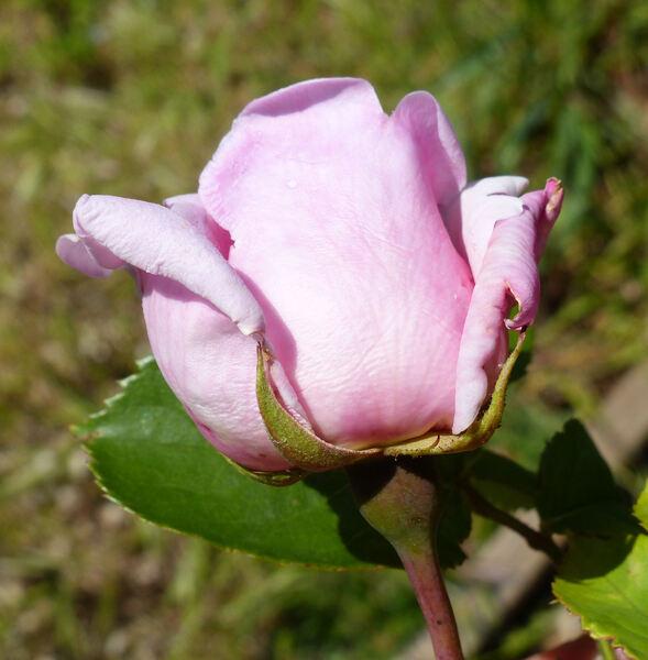 Rosa 'Egeria'
