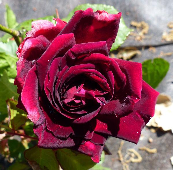 Rosa 'Empereur du Maroc'