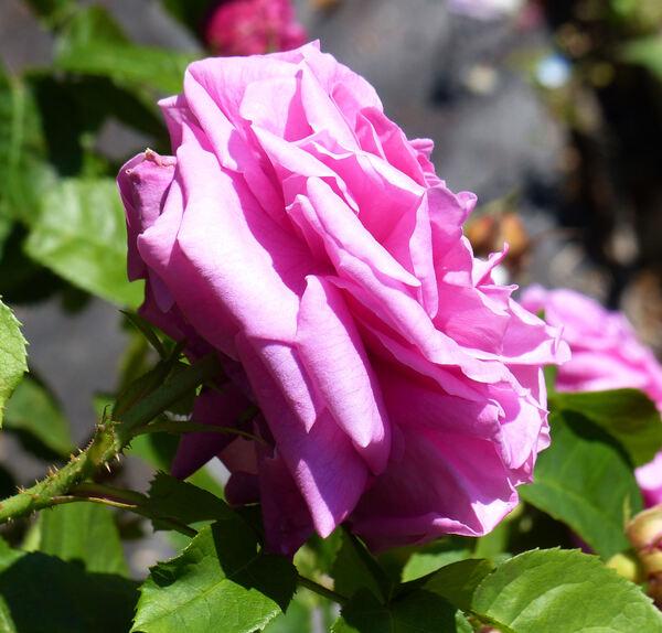 Rosa 'Baronne Prévost'