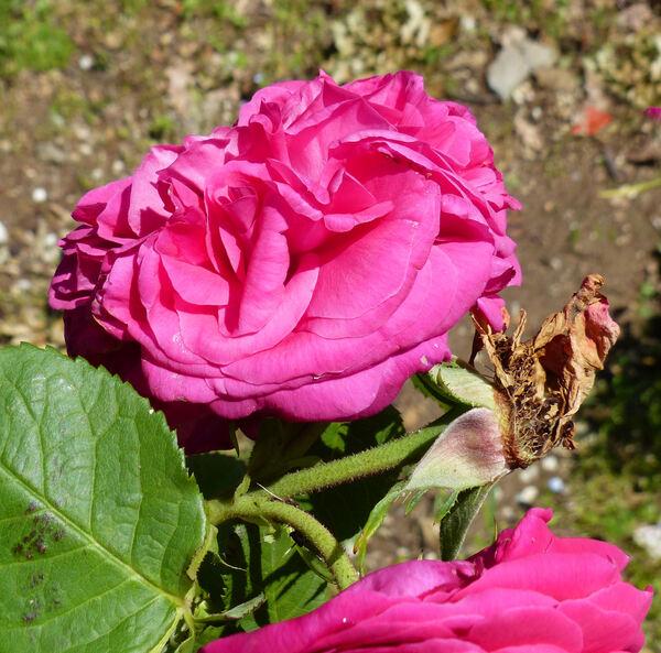 Rosa 'Triomphe de l'Exposition'