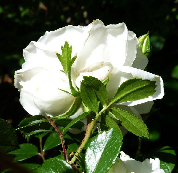 Rosa 'Swany ®'