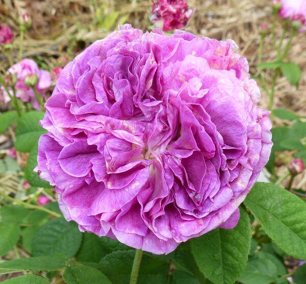 Rosa 'Charlemagne'