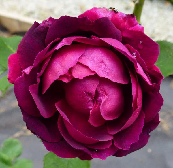 Rosa 'Alfred Colomb'