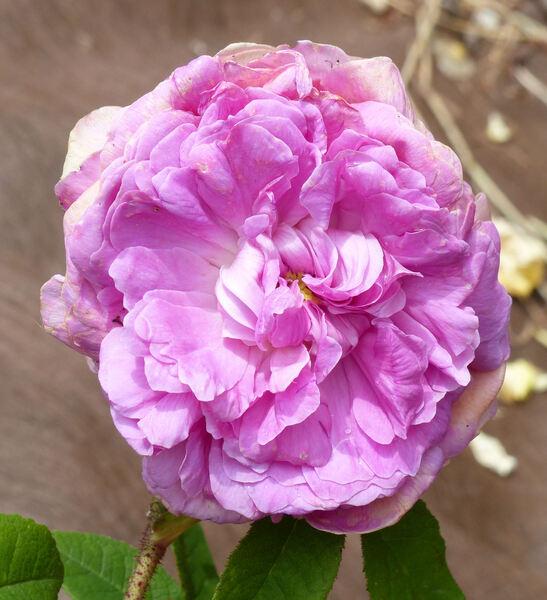 Rosa 'Anaïs Ségalas'