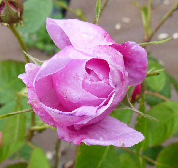 Rosa 'Centifolia Major'