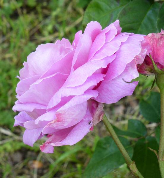 Rosa 'Coupe d'Hébé'