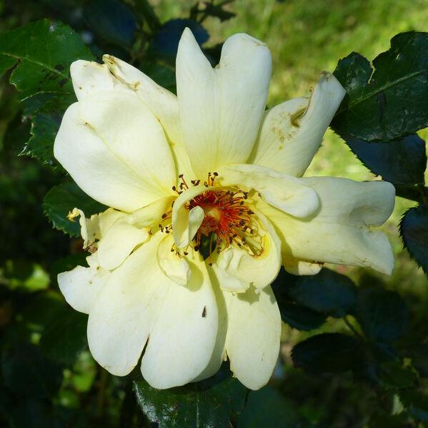 Rosa 'Casino X Frühlingsgold'
