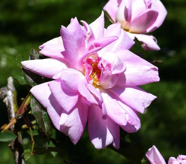 Rosa 'Blairii No. 2'