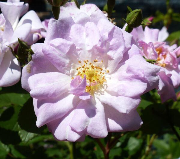 Rosa 'Narrow Water'