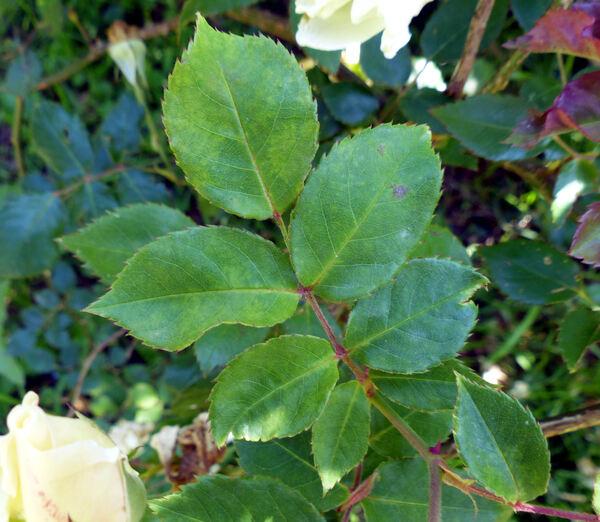 Rosa 'Pax'