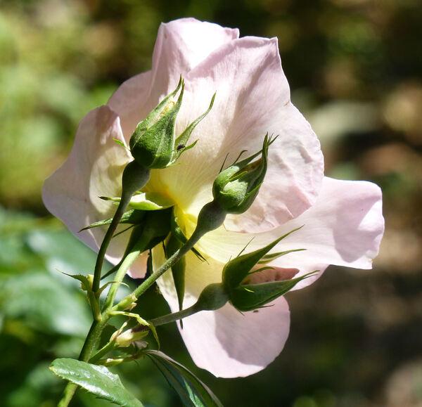 Rosa 'Sally Holmes ®'