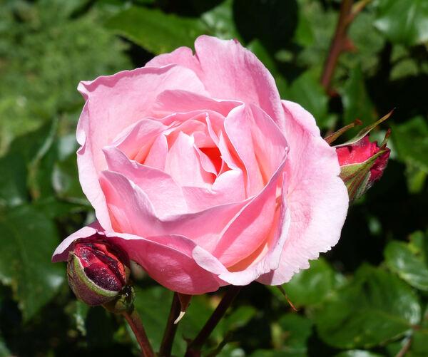 Rosa 'Ninfea'
