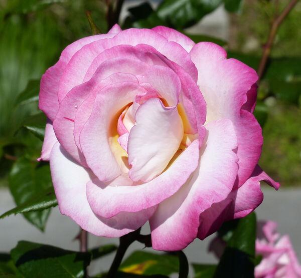 Rosa 'Haendel ®'
