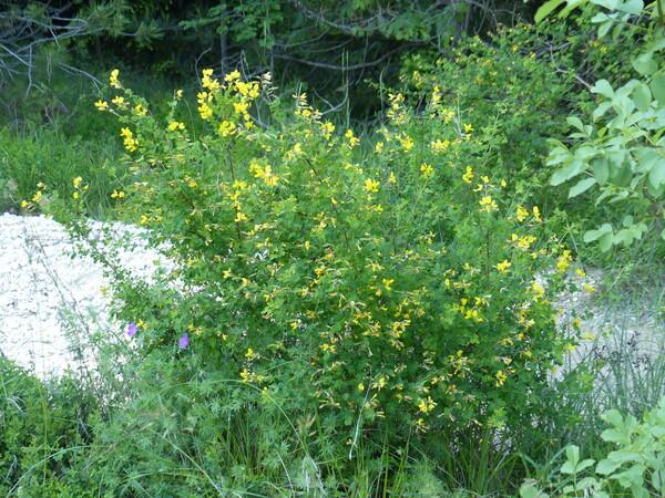 Cytisophyllum sessilifolium (L.) O.Lang
