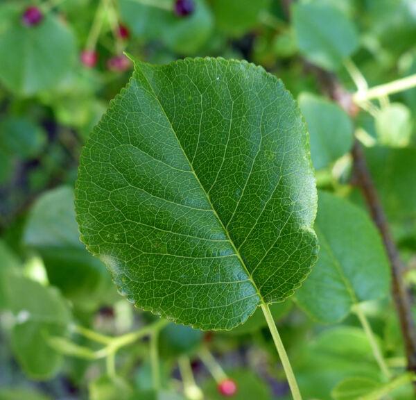 Prunus mahaleb L. subsp. mahaleb