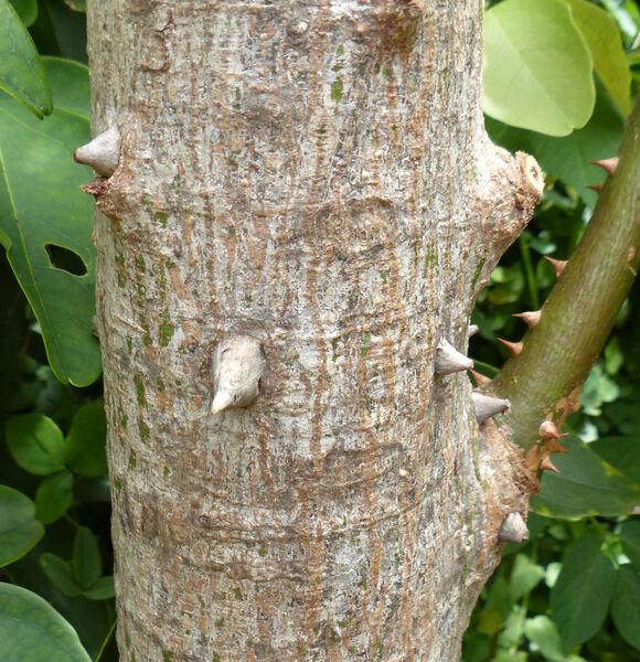 Ceiba pentandra (L.) Gaertn.
