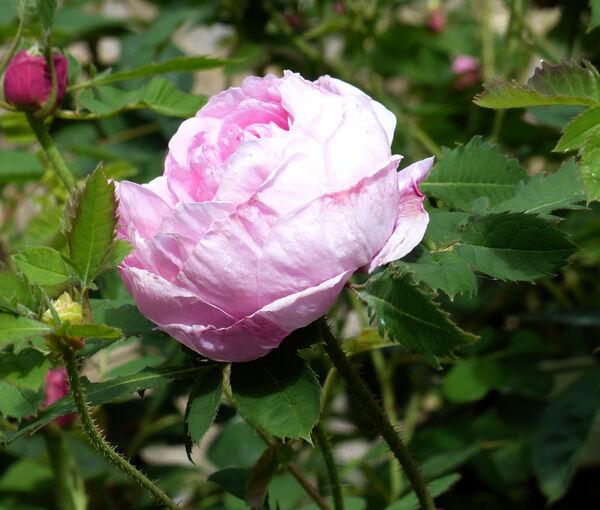Rosa 'Centifolia Prolifera Foliacea'