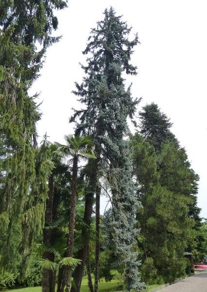 Picea pungens Engelm. 'Moerheimii'