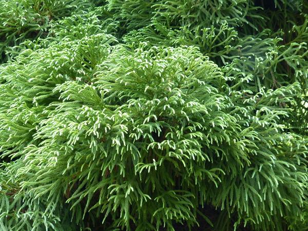 Cryptomeria japonica (L. f.) D.Don 'Globosa'