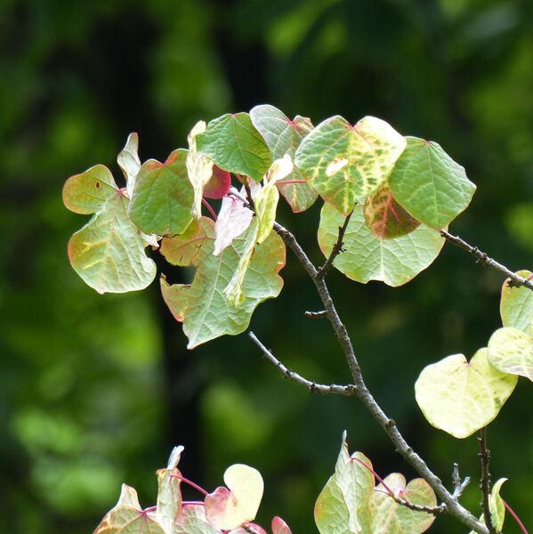 Disanthus cercidifolius Maxim.