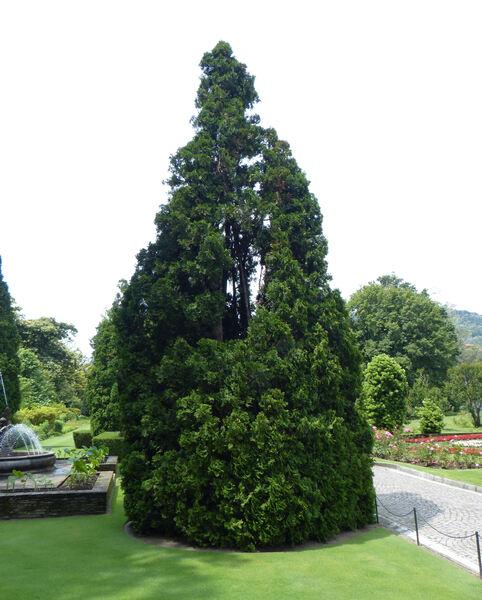 Thuja occidentalis L. 'Pyramidalis'