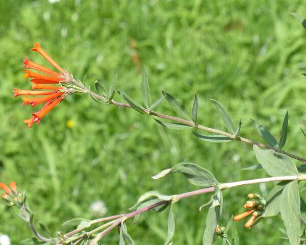 Bouvardia triphylla Salisb.
