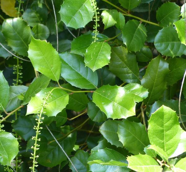 Itea ilicifolia Oliv.