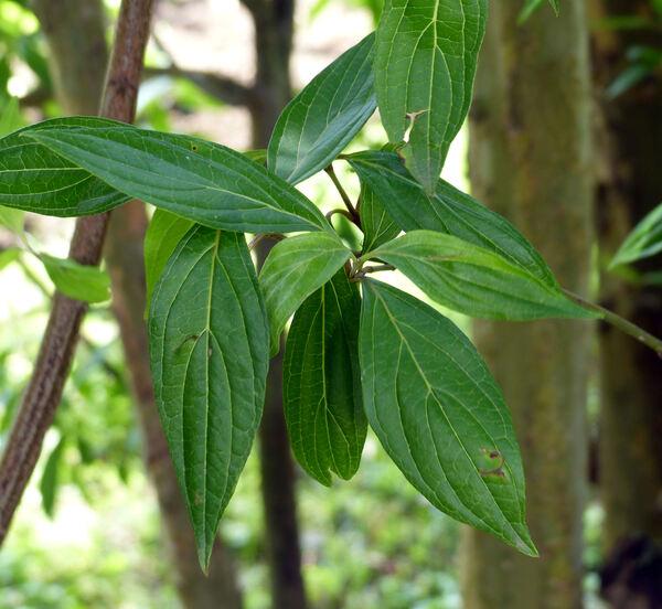 Cornus paucinervis Hance