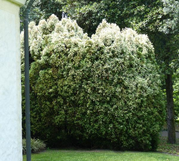 Cryptomeria japonica (L. f.) D.Don 'Nana Albo-spicata'