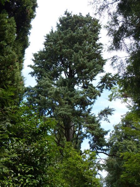 Hesperocyparis arizonica (Greene) Bartel