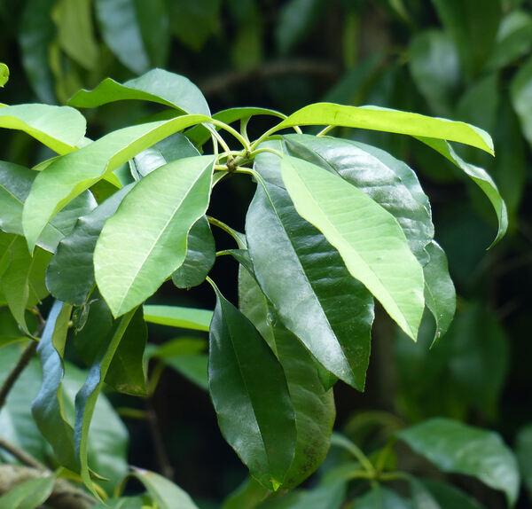 Heteromeles arbutifolia (Lindl.) M.Roem.