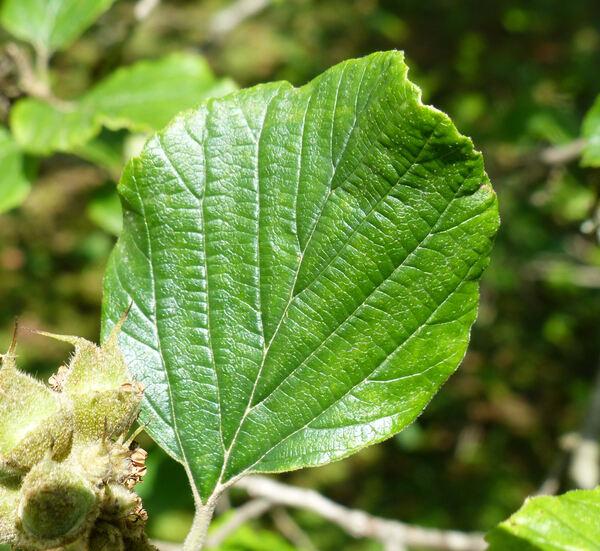 Parrotiopsis jacquemontiana (Decne.) Rehder
