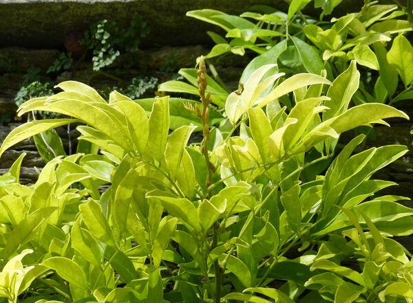 Callerya reticulata (Benth.) Schot.