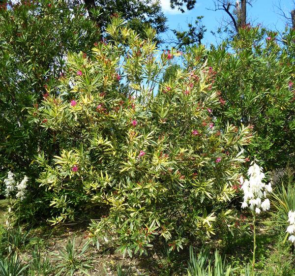 Nerium oleander L. 'Variegata'