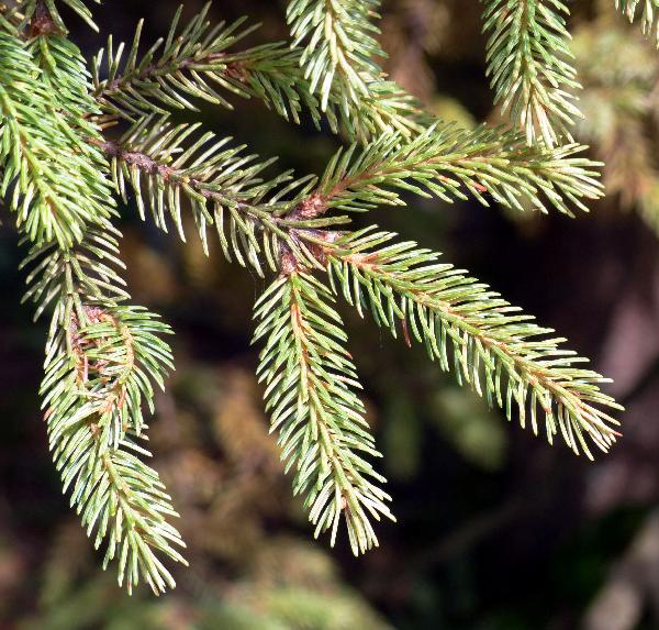 Picea mariana (Mill.) Britton, E.E. Sterns & Poggenb.