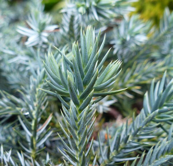 Juniperus squamata Lambert 'Blue Star'