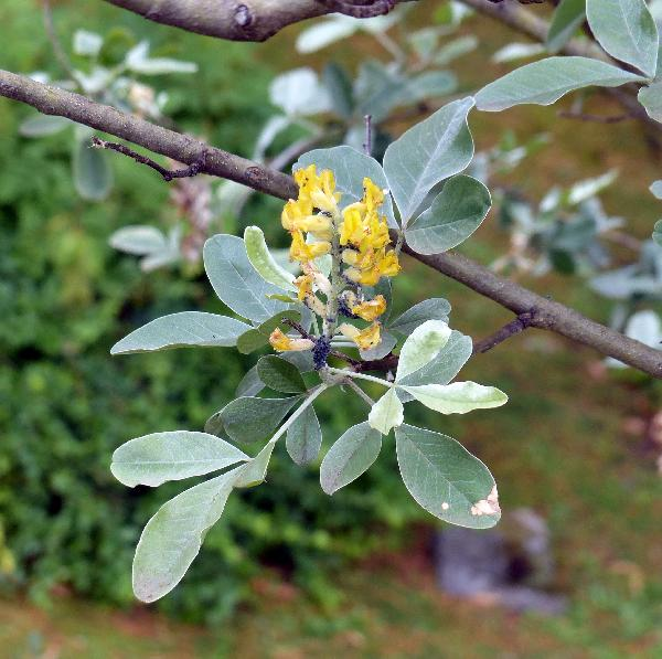 Argyrocytisus battandieri (Maire) Raynaud