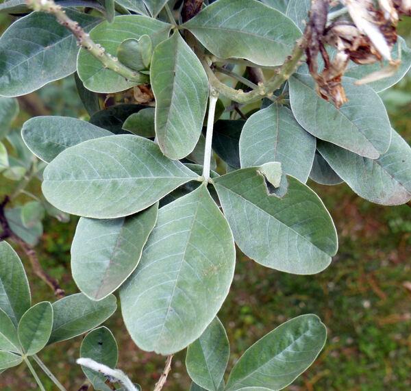 Argyrocytisus battandieri (Maire) Raynaud
