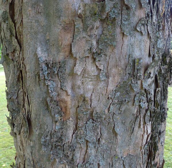 Acer buergerianum Miq.