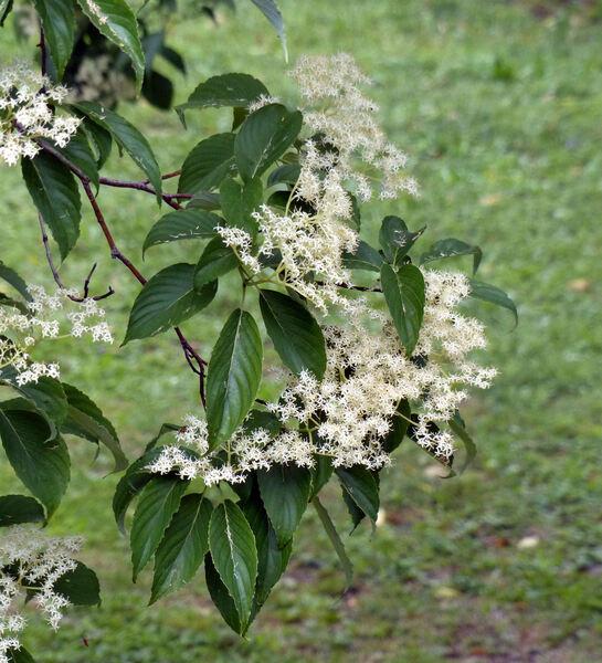 Cornus macrophylla Wall.
