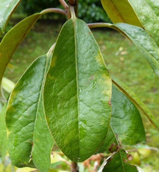 Rhododendron maddenii Hook.f.