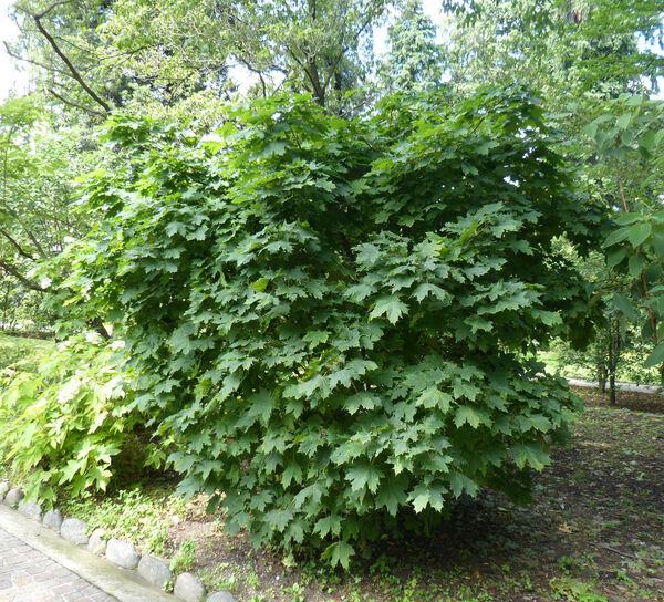 Acer platanoides L. 'Globosum'