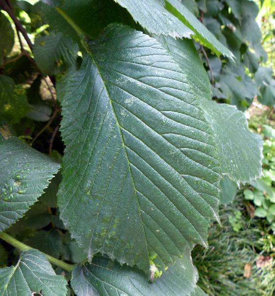 Ulmus glabra Huds. 'pendula'