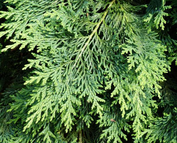 Chamaecyparis lawsoniana (Murray) Parl. 'Nidiformis'