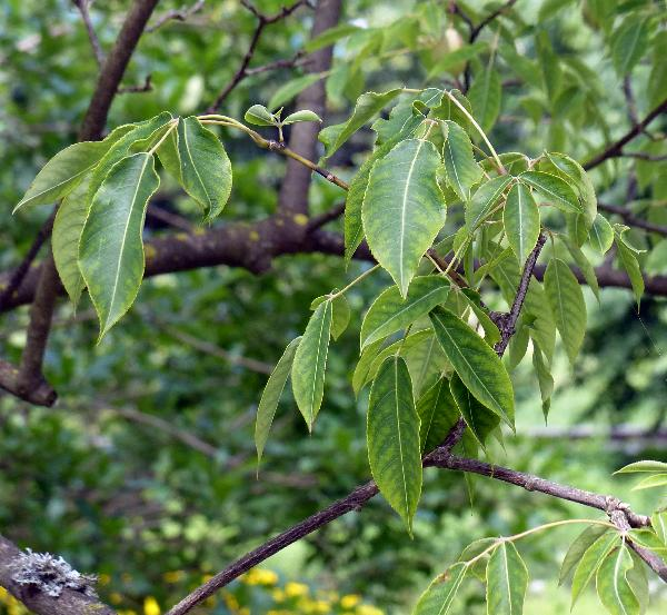 Staphylea holocarpa Hemsl. 'rosea'