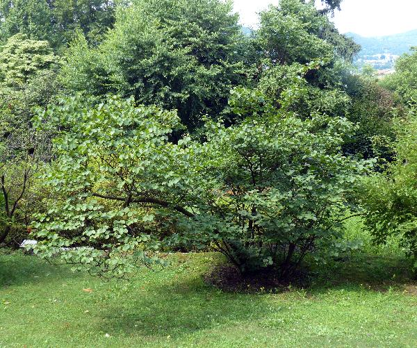 Cercis griffithii Boiss.