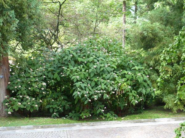 Hydrangea aspera D.Don subsp. sargentiana (Rehder) E. M. McClintock