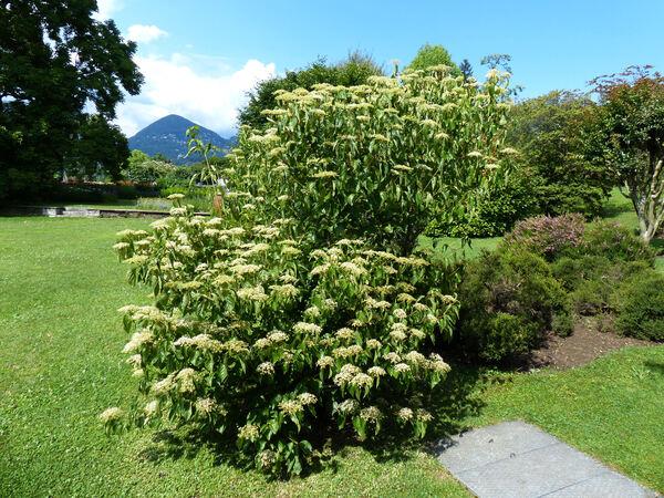 Viburnum betulifolium Batalin