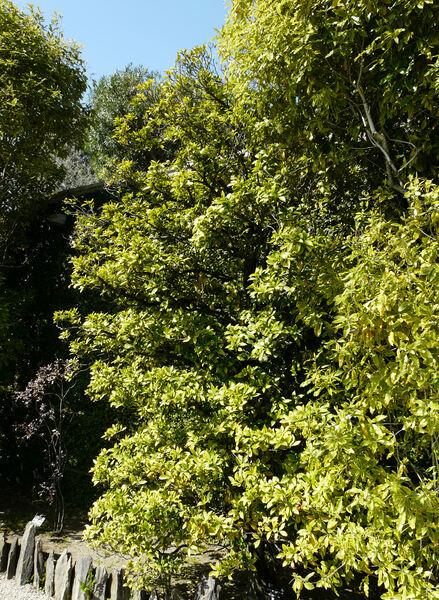 Illicium anisatum L.